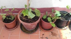 Tomates, garrofó, berenjenas y garrofó (9 junio)