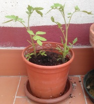 Dos tomateras (9 junio)