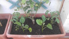 Tomates y berenjenas (17 junio)