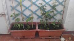 Jardineras con hortícolas y ornamentales (17 junio)