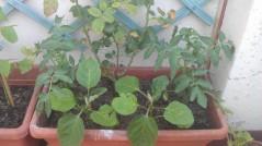 Tomates y berenjenas (24 junio)